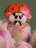 Lady bug on milkweed. A lady bug is crawling over milkweed buds Stock Photo