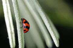 Lady bug on the mimosa Stock Photography