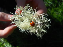Lady bug on moss Royalty Free Stock Photo