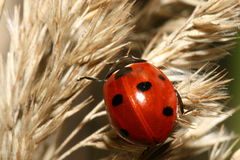 Lady-bug On Grass Stock Photos