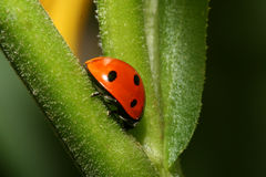 Lady-bug On Grass Stock Image