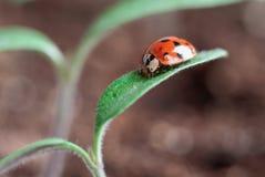 Lady Bug Patroling New Tomato Plant. Ladybug crawling on the leaves of a young tomato plant seedling. Blurred background stock images