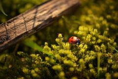 Lady Bug Perched on Green Moss by Brown Wood Royalty Free Stock Photos
