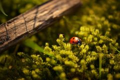 Lady Bug Perched on Green Moss by Brown Wood Royalty Free Stock Image