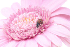 Lady bug pink gerbera. Pink gerbera with lady bug Royalty Free Stock Images