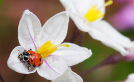 Lady bug Potato vine flower Royalty Free Stock Photography