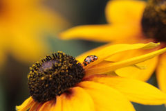 Lady bug in profile on the yellow petal of a balck eyed susan stock photo
