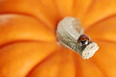 Lady bug on a pumpkin stem Stock Images