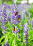 Lady bug on purple flower Stock Photography