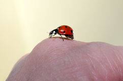 Lady bug ready to go. Lady bug on a hand Stock Image