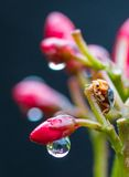 Lady bug Royalty Free Stock Photography