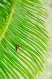 Lady bug on a sago palm Royalty Free Stock Photography
