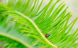 Lady bug on a sago palm Royalty Free Stock Image