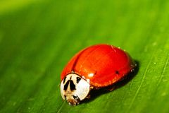 Lady bug 2 Stock Image