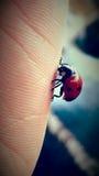 Lady bug 1 Royalty Free Stock Photography