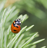 Lady bug spotted beetle on Spruce tree Stock Photo