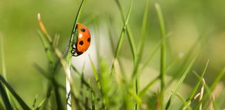Lady bug in a spring garden Royalty Free Stock Image