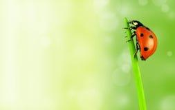 Lady bug on stalk Stock Images