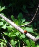 Lady Bug on a Stick. Lady bug that is crawling on a stick stock image