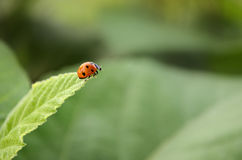 Lady Bug taking a leap Royalty Free Stock Photos