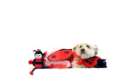 Lady Bug for Valentines Day Royalty Free Stock Images