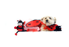 Lady Bug for Valentines Day. Valentine's Day costume has Silkypoo dog in a lady bug costume.  He is hugging his favorite toys Stock Image