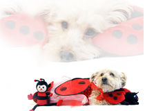 Lady Bug for Valentines Day. Valentine's Day costume has Silky poo dog in a lady bug costume.  He is hugging his favorite toys Royalty Free Stock Photos