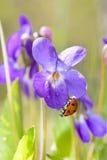 Lady Bug on Viola Odorata Bloom Royalty Free Stock Photography