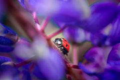 Lady bug on violet Lupine flower. In summer garden  at summer cloudy day Royalty Free Stock Image