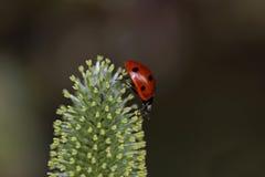 Lady bug on walk Royalty Free Stock Photo
