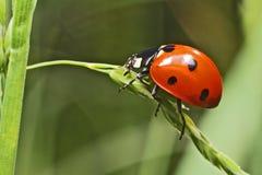 Lady bug. Walking lady bug on a green leaf royalty free stock images