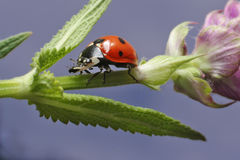 Lady bug. Walking lady bug on a green leaf Royalty Free Stock Photography