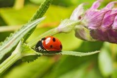 Lady bug. Walking lady bug on a green leaf Stock Photos