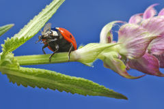 Lady bug. Walking lady bug on a green leaf Royalty Free Stock Image