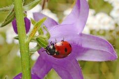 Lady bug. Walking lady bug on a green leaf Royalty Free Stock Photos