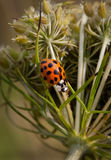 Lady bug walks through flower Royalty Free Stock Photography