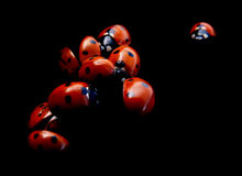 Lady Bugs Stock Photos