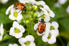 Lady Bugs Royalty Free Stock Photography