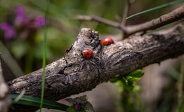 Lady bugs on branch