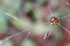 Lady bugs Royalty Free Stock Images