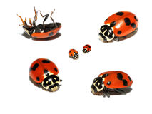 Lady beetle collage. Lady beetle or bugs collage on a white background Stock Photo