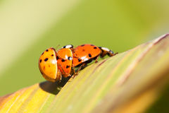 Lady bugs Stock Images