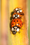 Lady bugs stock photos
