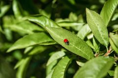 A Lady Bug crawls along a fruit tree leaf searching for food. stock photos