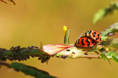 Lady bugs mating on the leaf Stock Images