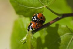 Lady bugs Stock Image