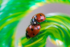 Lady bugs at play on spiral Royalty Free Stock Image