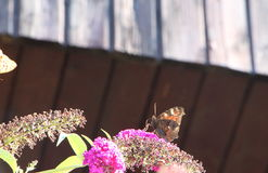 Lady butterfly on butterfly bush Royalty Free Stock Images