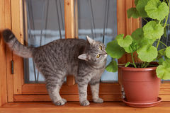 Lady-cat. A lady-cat sits on a window-sill near a pot with a geranium Royalty Free Stock Photography