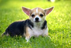 Lady Chihuahua goes Chilling. Chihuahua goes Chilling pet dog stock image